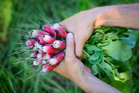Fresh organic radishes with tops and green leaves in the hands o - Stock Photo - Images