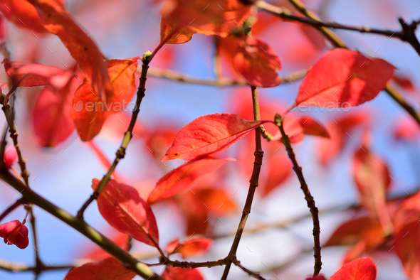 Autumn red leaves against the sky. - Stock Photo - Images