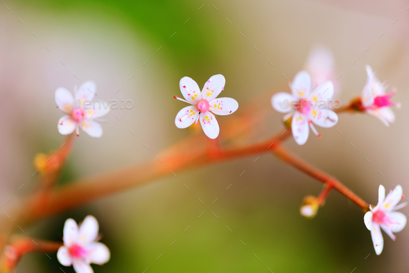Flowers Saxifraga closeup on natural background - Stock Photo - Images
