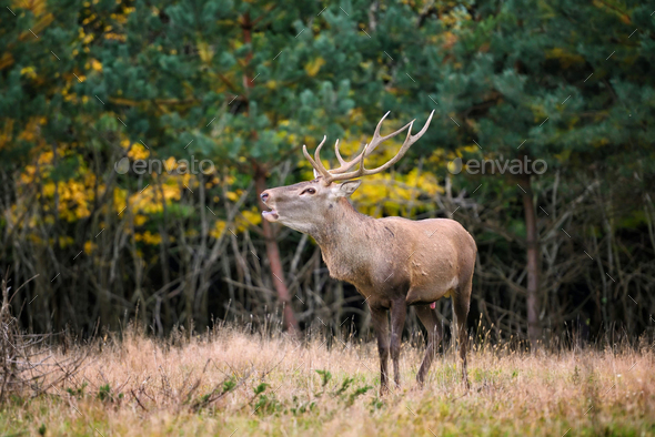 Majestic adult red deer roaring in autumn forest. Rutting season - Stock Photo - Images