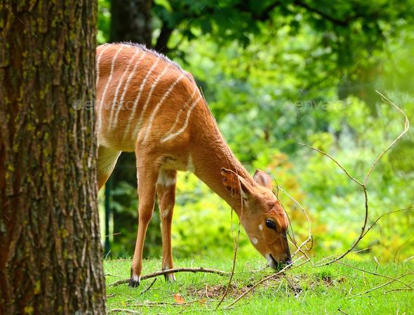 Female nyala antelope (Tragelaphus angasii) eating grass - Stock Photo - Images