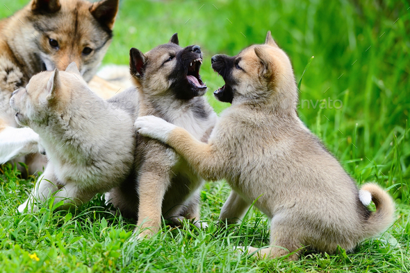 Lovely charming puppies of Laika breed play on the grass - Stock Photo - Images