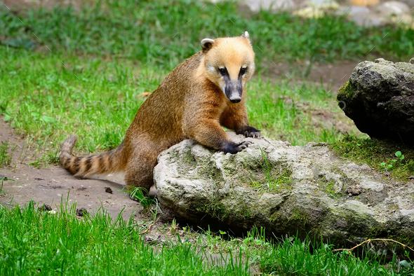 Cute coati (Nasua), wild animal looking like raccoon - Stock Photo - Images