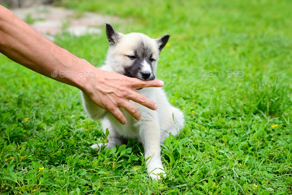 A beautiful Siberian Laika puppy playfully gnaws his hand - Stock Photo - Images