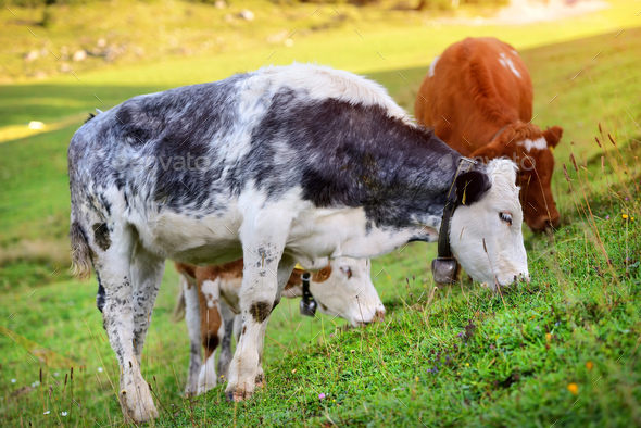 Cows grazing on meadow in mountains. Summer sunny morning - Stock Photo - Images