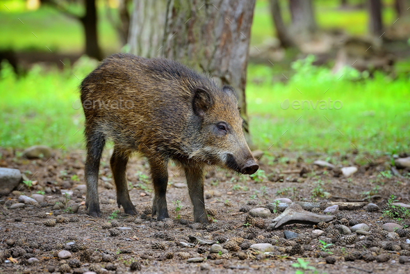 Young wild boar in the forest. Selective focus - Stock Photo - Images