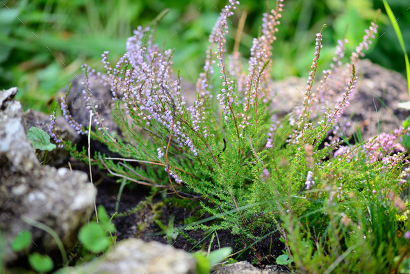 Beautiful blossoming purple heather (Calluna vulgaris) - Stock Photo - Images