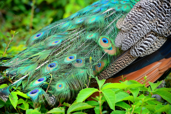 Colorful peacock feathers. Peacock Detail - Stock Photo - Images