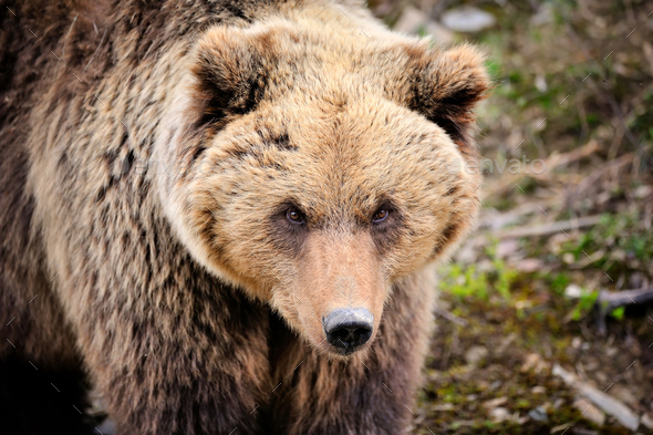 Brown bear portrait. Big brown bear in forest. - Stock Photo - Images