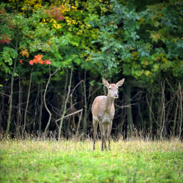 Female Red deer standing in autumn forest. Wild animals in natur - Stock Photo - Images