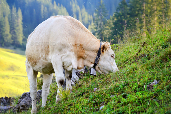 Cow grazing on a mountain pasture. Summer sunny morning - Stock Photo - Images