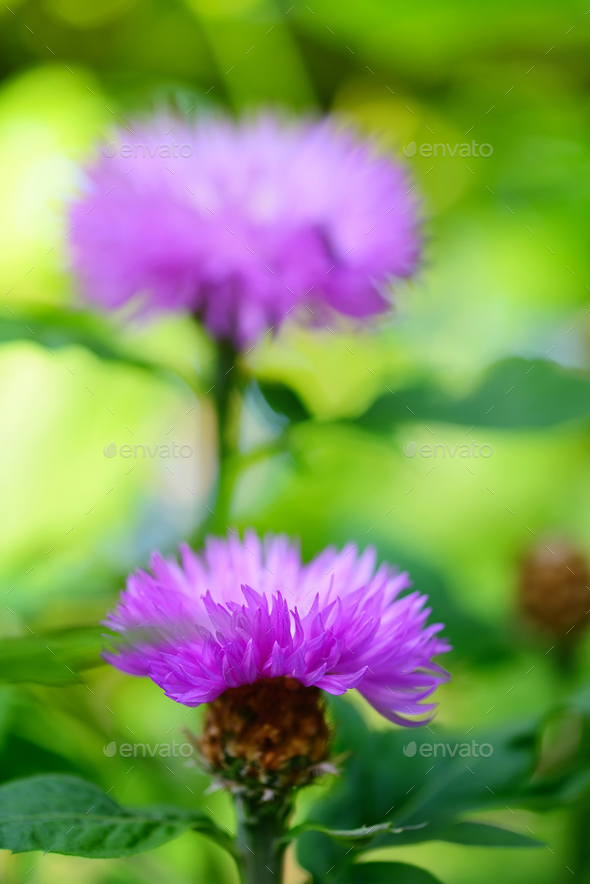 Close-up of cornflower on natural background - Stock Photo - Images