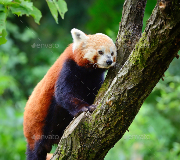 Red Panda, Firefox or Lesser Panda (Ailurus fulgens) - Stock Photo - Images