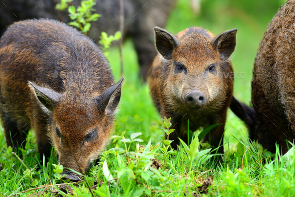 Young wild boars in the spring forest - Stock Photo - Images