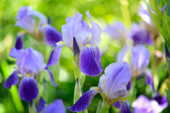Blue Iris (Iris L.) in the green grass - Stock Photo - Images