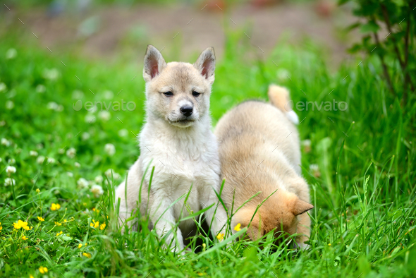 Two lovely charming puppies of Laika breed is sitting on green g - Stock Photo - Images