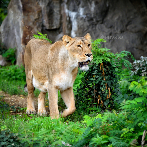 Lioness (Panthera leo) standing in green grass, looks out for pr - Stock Photo - Images