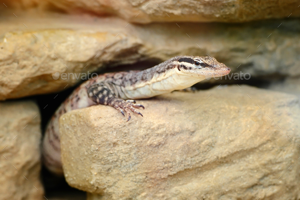 A small Varanus (Varanus glauerti) got out of the hole - Stock Photo - Images