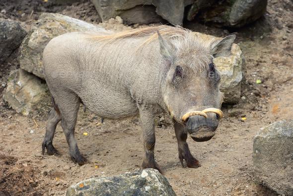 Common warthog (Phacochoerus africanus) - Stock Photo - Images