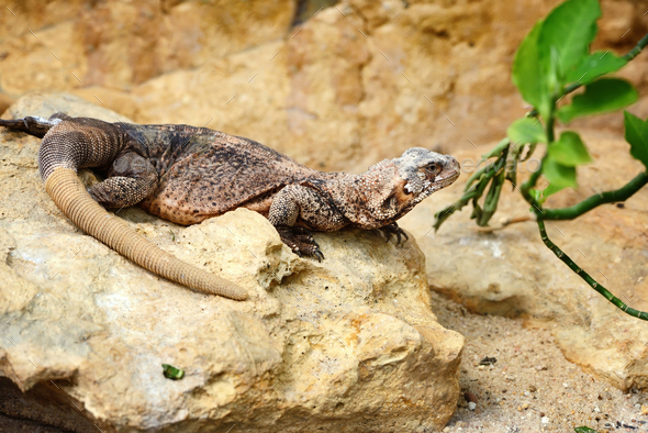 A Common Chuckwalla (Sauromalus ater) sitting on a stone - Stock Photo - Images