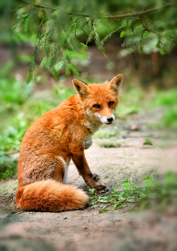 European red fox (Vulpes vulpes) in forest. - Stock Photo - Images