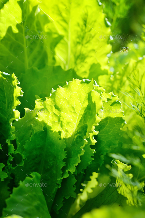 Fresh lettuce salad in sunlight, leaves background - Stock Photo - Images