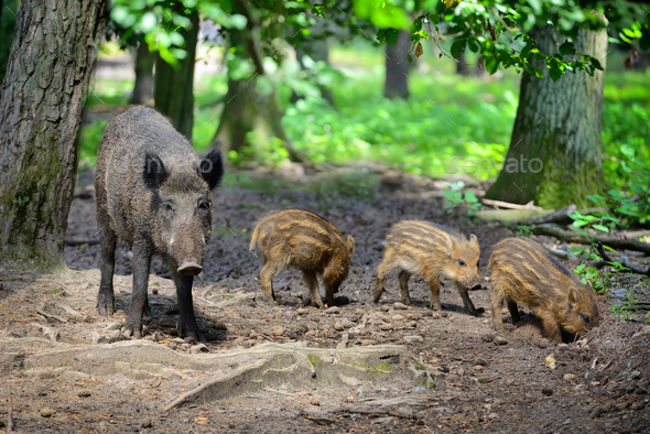Wild boar family with striped piglets in the forest - Stock Photo - Images