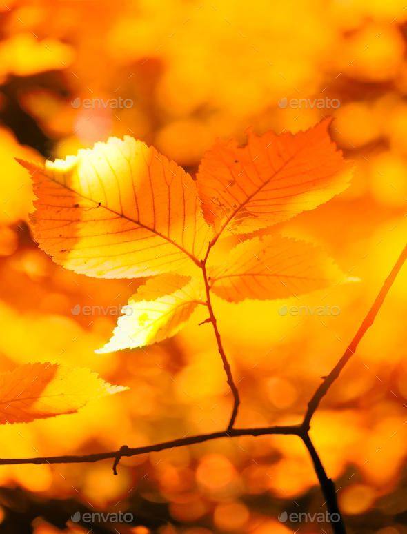 Autumn yellow leaves of hazel in the sunlight in the forest - Stock Photo - Images