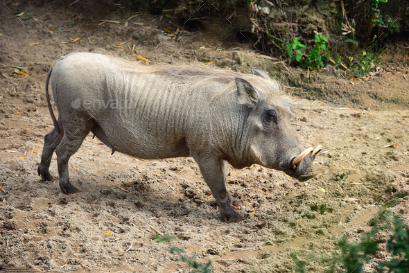 Common warthog (Phacochoerus africanus). Side view - Stock Photo - Images