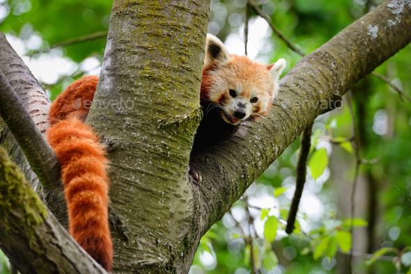 Red Panda, Firefox or Lesser Panda (Ailurus fulgens) sitting in - Stock Photo - Images