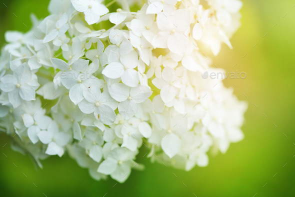 White hydrangea flowers tender romantic floral background - Stock Photo - Images