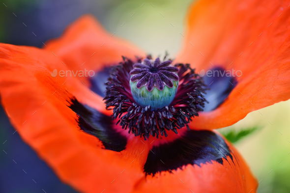 Closeup blooming red poppy flower. Stamen, stigma, filament and - Stock Photo - Images