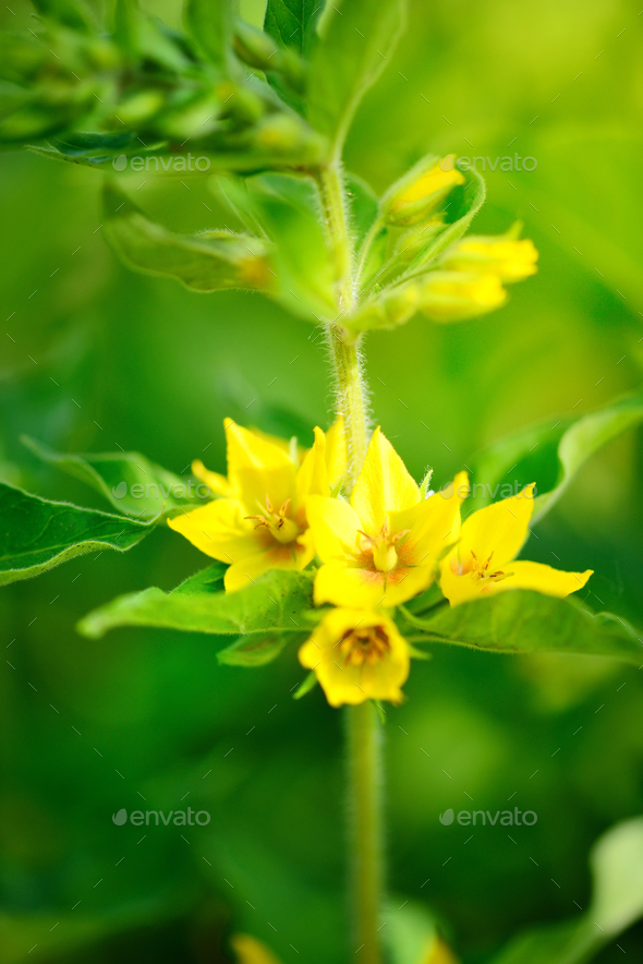 Lysimachia vulgaris growing in the garden. Selective focus - Stock Photo - Images