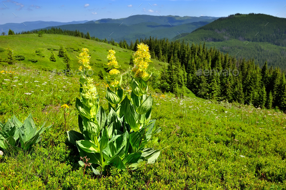 Gentian (Gentiana lutea) on a background of mountains and blue s - Stock Photo - Images