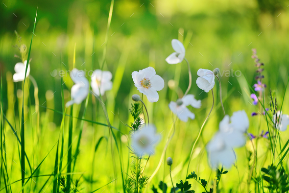 White flowers Anemone (Anemone sylvestris) on the field - Stock Photo - Images
