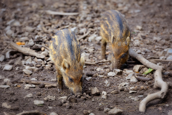 Baby wild boars playing in the mud - Stock Photo - Images