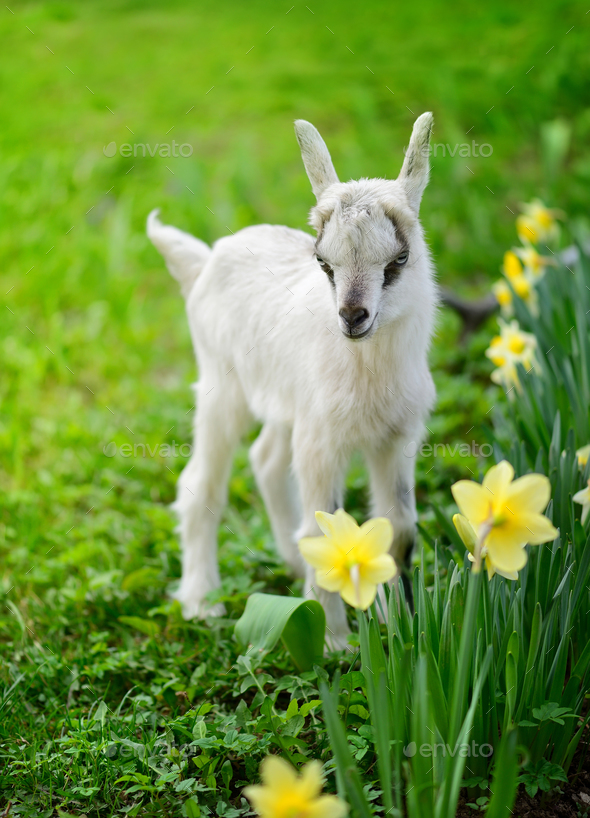 White baby goat standing on green lawn with flowers narcissus - Stock Photo - Images