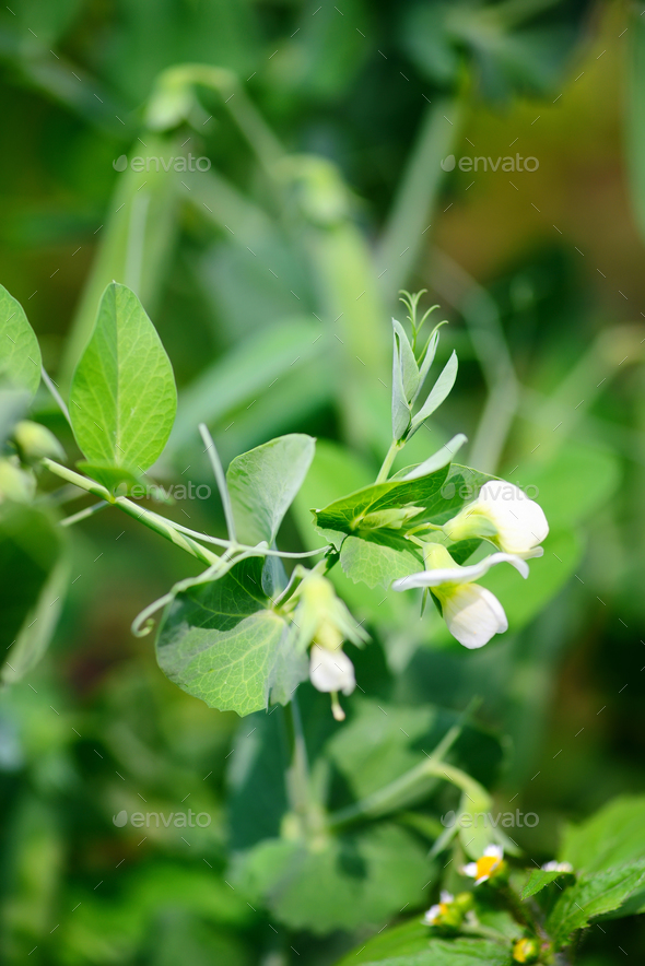 Blooming pea in garden over blurry background - Stock Photo - Images