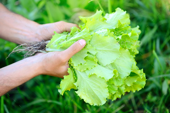 Freshly salad in the hands of the farmer, picking fresh salad fr - Stock Photo - Images