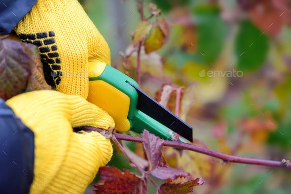 Hands with gloves of gardener doing maintenance work, pruning bu - Stock Photo - Images