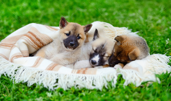 Three cute Siberian Laika puppies on the blanket - Stock Photo - Images