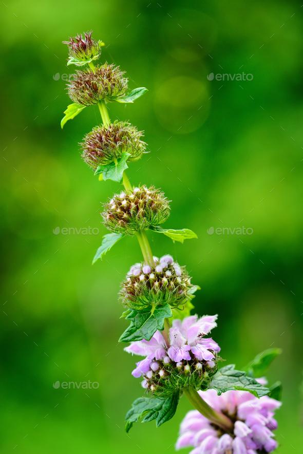 Flowers of Phlomoides tuberosa (Phlomis tuberosa) - Stock Photo - Images