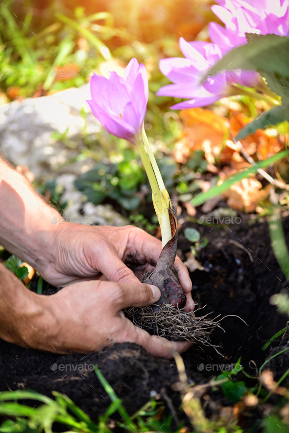 Gardeners hands planting flowers (Colchicum autumnale) in a gard - Stock Photo - Images