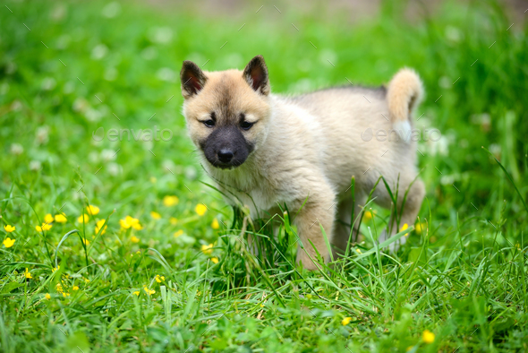 A beautiful Siberian Laika puppy on the grass - Stock Photo - Images