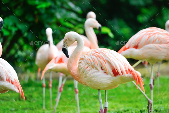 Pink flamingos (Phoenicopterus roseus) against green background - Stock Photo - Images