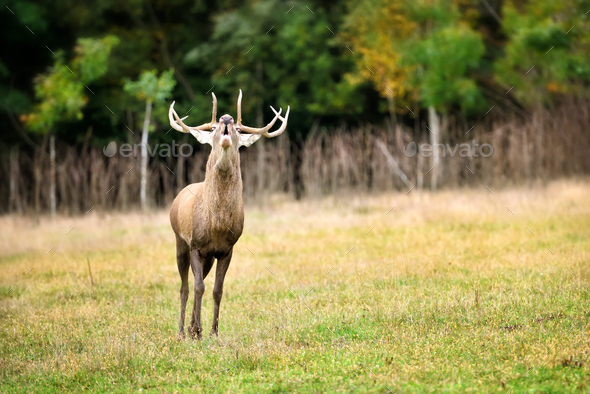 Majestic adult red deer roaring in the nature habitat. Rutting s - Stock Photo - Images