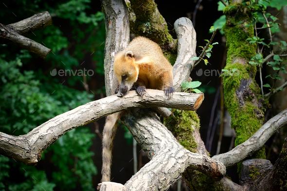 South American coati (Nasua) on tree branch - Stock Photo - Images