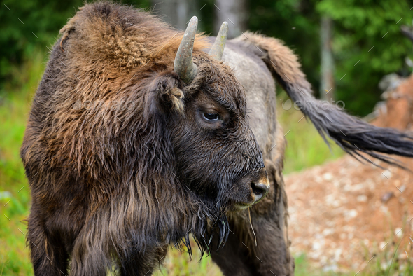 European Bison in the forest. Wisent. Bison bonasus - Stock Photo - Images