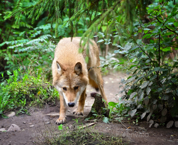 Timber wolf (Canis lupus) hunting in the forest - Stock Photo - Images