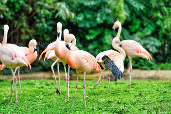 Pink flamingos (Phoenicopterus roseus) against green background - Stock Photo - Images